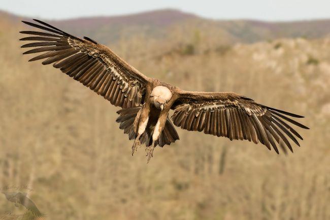 Condor in Spain